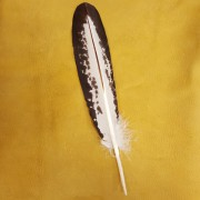 Immature Bald Eagle Hand Painted Feather